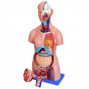 Modelo Anatomico Torso Bissexual 85cm com Coluna Exposta
