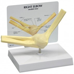 Modelo Básico de Cotovelo