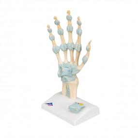 Modelo de Esqueleto Da Mão com Ligamentos E Túnel do Carpo
