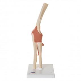 Modelo Luxo de Articulação do Cotovelo