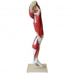 Músculos do Membro Inferior com Principais Vasos E Nervos, em 10 Partes