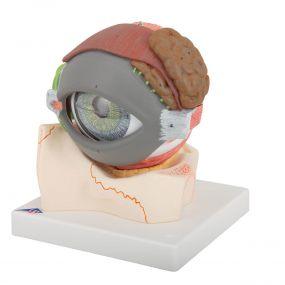 Olho com Pálpebra E Sistema Lacrimal, 5 Vezes O Tamanho Natural, 8 Partes