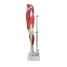Perna c/ Músculos Destacáveis, Vasos E Nervos em 13 Partes