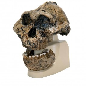 Rêplica de Crânio Australopithecus Boisei (knm-er 406 + Omo L7a-125)