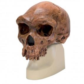 Rêplica de Crânio Homo Rhodesiensis (broken Hillÿ Woodward, 1921)