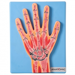 Secção Mediana Da Articulação Da Mão