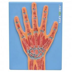 Secção Mediana Da Mão