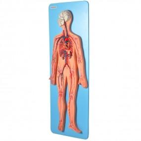 Sistema Circulatório Luxo