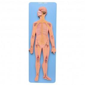 Sistema Nervoso Central E Periférico