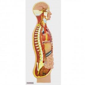 Sistema Nervoso Simpático em Prancha