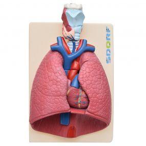 Sistema Respiratório em 7 Partes