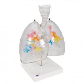 Tc-ramificações Bronquiais com Faringe E Lobos Pulmonares Transparentes