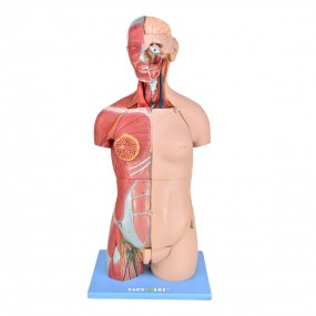 Torso Bissexual Muscular Luxo de 85cm c/ Órgãos Interno em 32 Partes