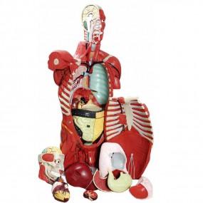 Torso Muscular 108cm Masculino c/ Órgãos Internos em 28 Partes