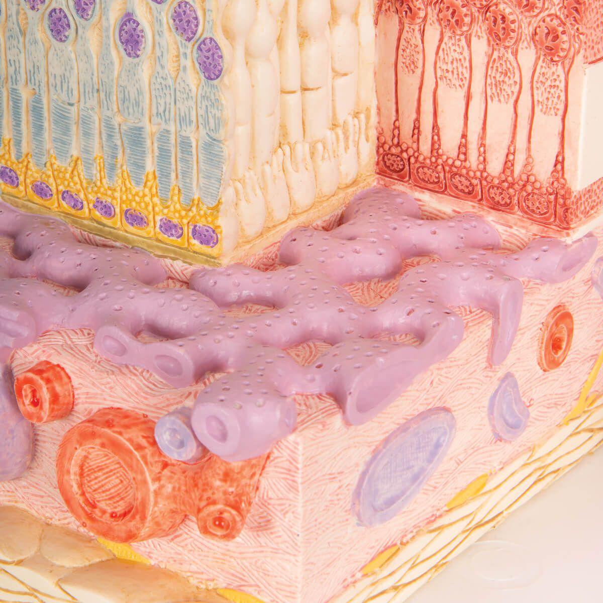 3b Microanatomy Olho