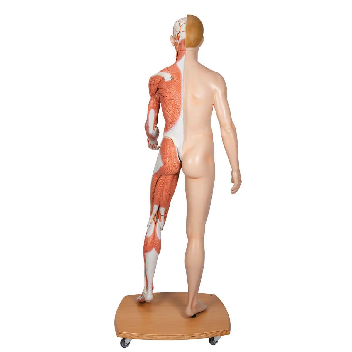 3b Scientific Modelo de Corpo Inteiro Masculino E Feminino, com 39 Peças