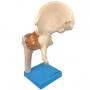 Articulação do Quadril com Ligamentos - Anatomic - TGD-0163-C