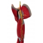 Braço c/ Músculos, Vasos E Nervos em 6 Partes