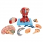 Cabeça com Músculos E Cérebro em 10 Partes - Anatomic - TZJ-0300-A