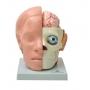 Cabeça em 10 Partes c/ Cérebro - Sdorf - SD-5037/B
