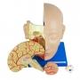 Cabeça Muscular com Cérebro, em 10 Partes