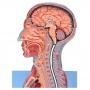 Cabeça, Pescoço c/ Parte do Tronco Musculados E Cérebro - Sdorf - SD-5025/B