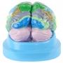 Cérebro, com Região Funcional do Córtex, em 2 Partes - Anatomic - TZJ-0303-F