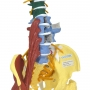 Coluna Flexível Multifuncional Tamanho Natural - Anatomic - TGD-0148-M