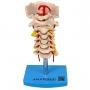 Coluna Vertebral Cervical - Anatomic - TGD-0142-A