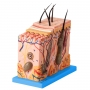 Corte de Pele Ampliada (70x), em Bloco - Anatomic - TZJ-0331-A
