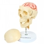 Crânio com Coluna Cervical E Cérebro, em 13 Partes