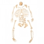 Esqueleto Padrão Desarticulado