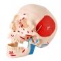 Esqueleto Padrão Desarticulado com Origem E Inserção Muscular