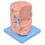 Fibra Muscular Esquelética c/ Placa Motora