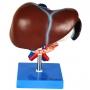 Fígado, Vesícula Biliar, Pâncreas, Duodeno E Baço