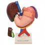 Fígado, Vesicular Biliar, Estômago, Pâncreas, Baço E Duodeno em 6 Partes - Sdorf - SD-5050