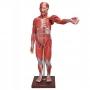 Figura Muscular Assexuada de 1,70 c/ Órgãos Internos em 29 Partes - Sdorf - SD-5026