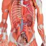 Figura Muscular Feminina, 23 Partes