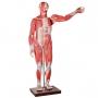 Manequim Muscular de 170cm, Assexuado, com Órgãos Internos, em 30 Partes