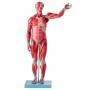 Manequim Muscular de 78 Cm, Assexuado, com Órgãos Internos, em 27 Partes