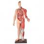 Manequim Muscular Masculino de 170 Cm C/órgãos Internos em 32 Partes