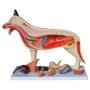Modelo Anatomico Anatomia do Cachorro