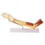 Modelo Anatomico Braço com Ossos, Músculos, Ligamentos E Nervos