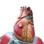 Modelo Anatomico Cavidade Torácica em 17 Partes