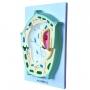 Modelo Anatomico Célula Vegetal