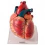 Modelo Anatomico Coração Ampliado em 3 Partes