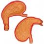 Modelo Anatomico Estômago, em 2 Partes