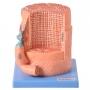 Modelo Anatomico Fibra Muscular Ampliada