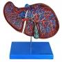 Modelo Anatomico Fígado Luxo