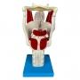 Modelo Anatomico Laringe Funcional Ampliada - TZJ-0314-F
